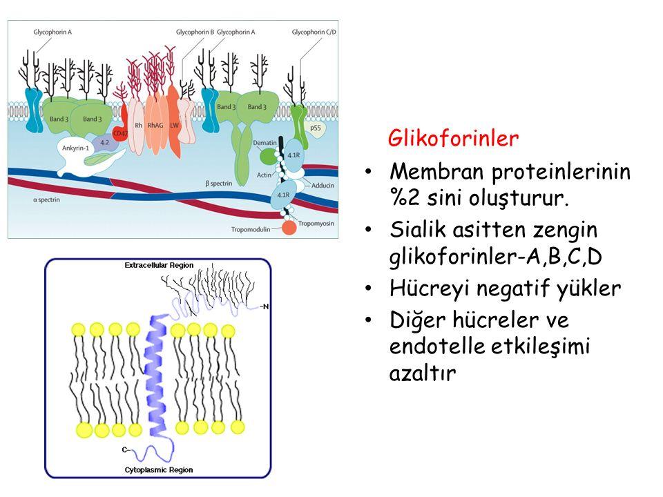 Glikoforinler Membran proteinlerinin %2 sini oluşturur. Sialik asitten zengin glikoforinler-A,B,C,D Hücreyi negatif yükler Diğer hücreler ve endotelle