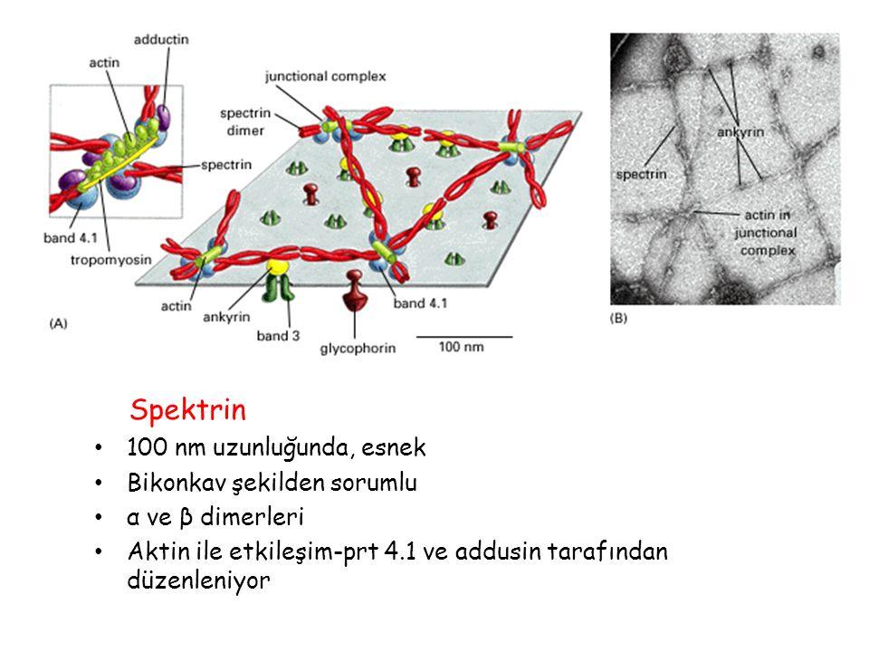 Spektrin 100 nm uzunluğunda, esnek Bikonkav şekilden sorumlu α ve β dimerleri Aktin ile etkileşim-prt 4.1 ve addusin tarafından düzenleniyor
