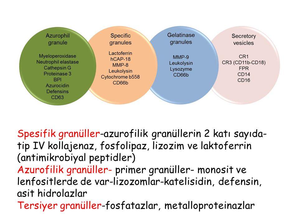 Spesifik granüller-azurofilik granüllerin 2 katı sayıda- tip IV kollajenaz, fosfolipaz, lizozim ve laktoferrin (antimikrobiyal peptidler) Azurofilik g
