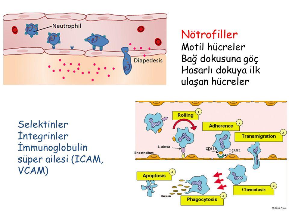 Nötrofiller Motil hücreler Bağ dokusuna göç Hasarlı dokuya ilk ulaşan hücreler Selektinler İntegrinler İmmunoglobulin süper ailesi (ICAM, VCAM)