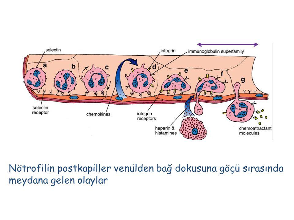 Nötrofilin postkapiller venülden bağ dokusuna göçü sırasında meydana gelen olaylar