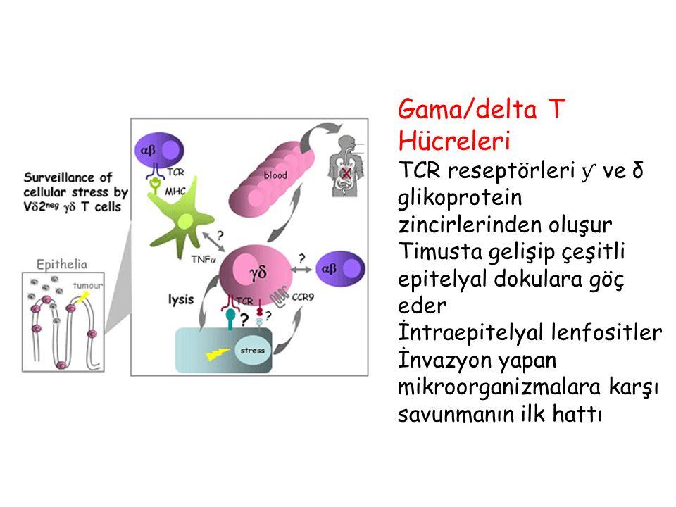 Gama/delta T Hücreleri TCR reseptörleri ƴ ve δ glikoprotein zincirlerinden oluşur Timusta gelişip çeşitli epitelyal dokulara göç eder İntraepitelyal l
