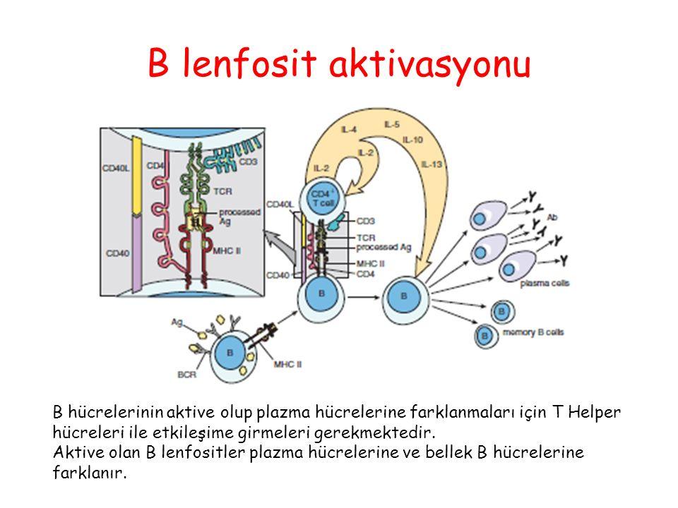 B lenfosit aktivasyonu B hücrelerinin aktive olup plazma hücrelerine farklanmaları için T Helper hücreleri ile etkileşime girmeleri gerekmektedir. Akt