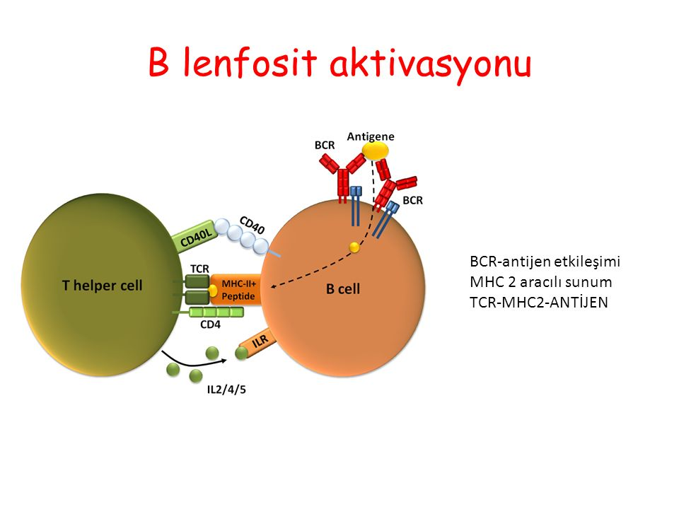 B lenfosit aktivasyonu BCR-antijen etkileşimi MHC 2 aracılı sunum TCR-MHC2-ANTİJEN