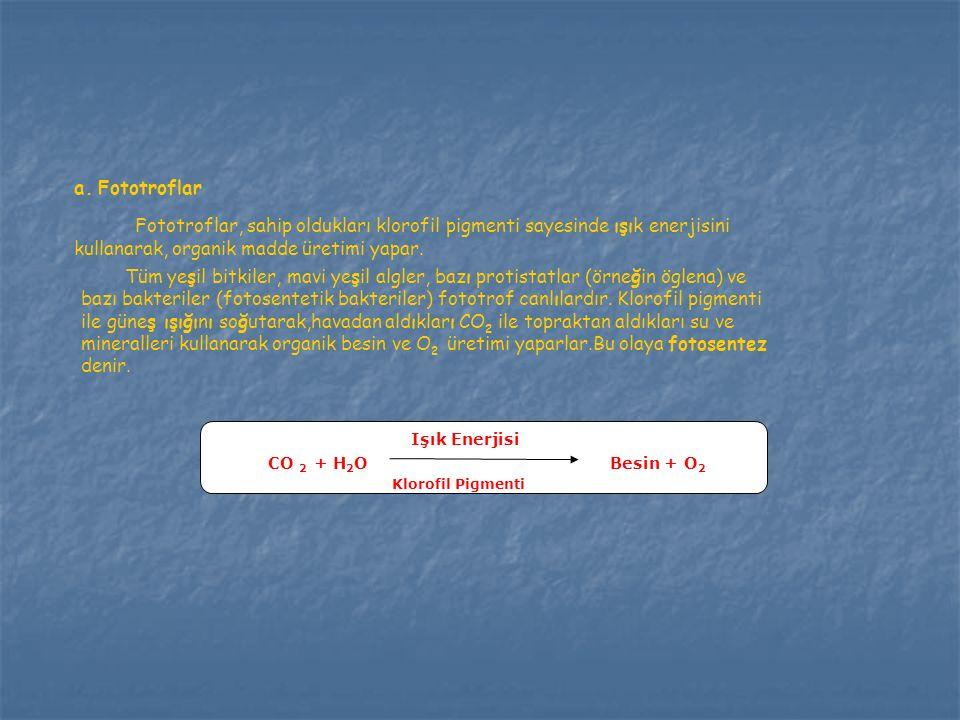 a.Fototroflar Fototroflar, sahip oldukları klorofil pigmenti sayesinde ışık enerjisini kullanarak, organik madde üretimi yapar. Tüm yeşil bitkiler, ma
