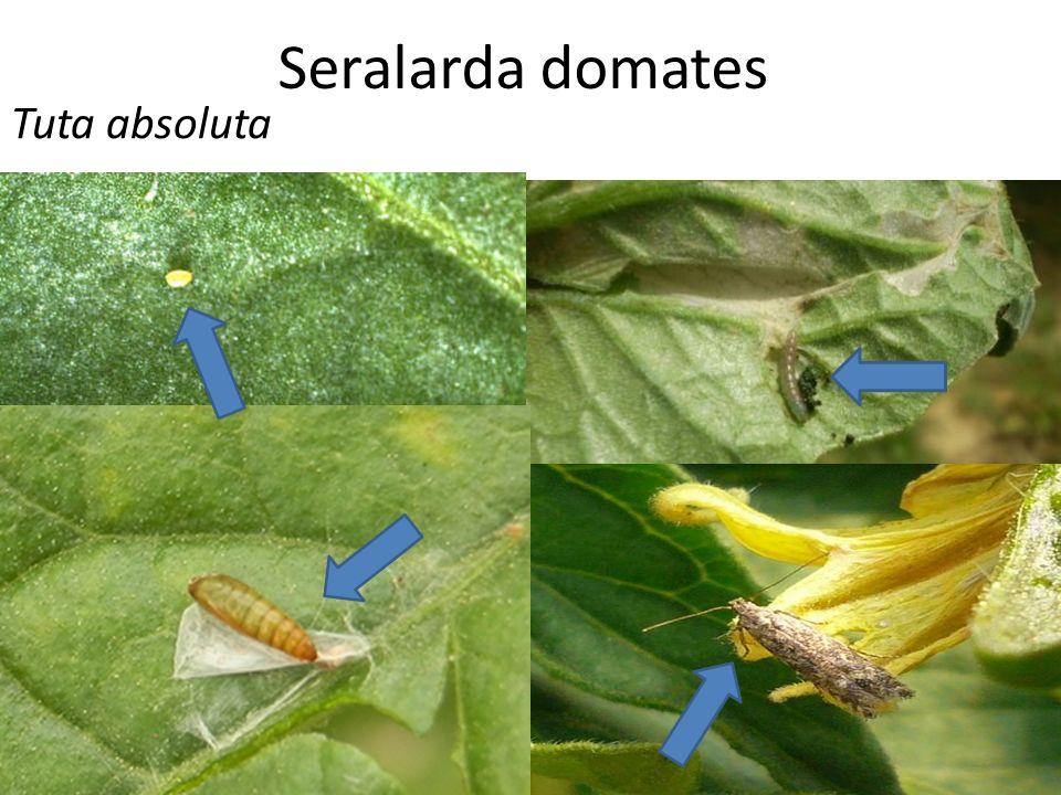  Yumurtadan çıkan larva, yaprak, meyve, sap, gövde ve büyüme noktalarında galeriler açarak beslenir.