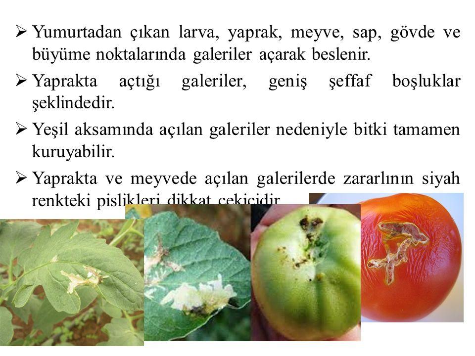  Yumurtadan çıkan larva, yaprak, meyve, sap, gövde ve büyüme noktalarında galeriler açarak beslenir.  Yaprakta açtığı galeriler, geniş şeffaf boşluk