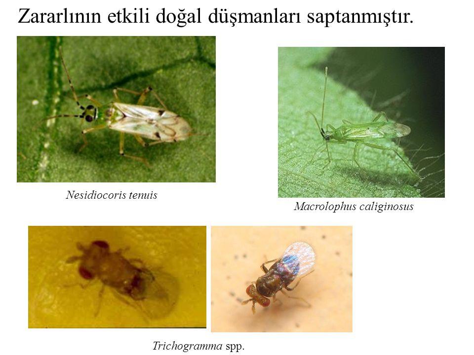 Zararlının etkili doğal düşmanları saptanmıştır. Macrolophus caliginosus Nesidiocoris tenuis Trichogramma spp.