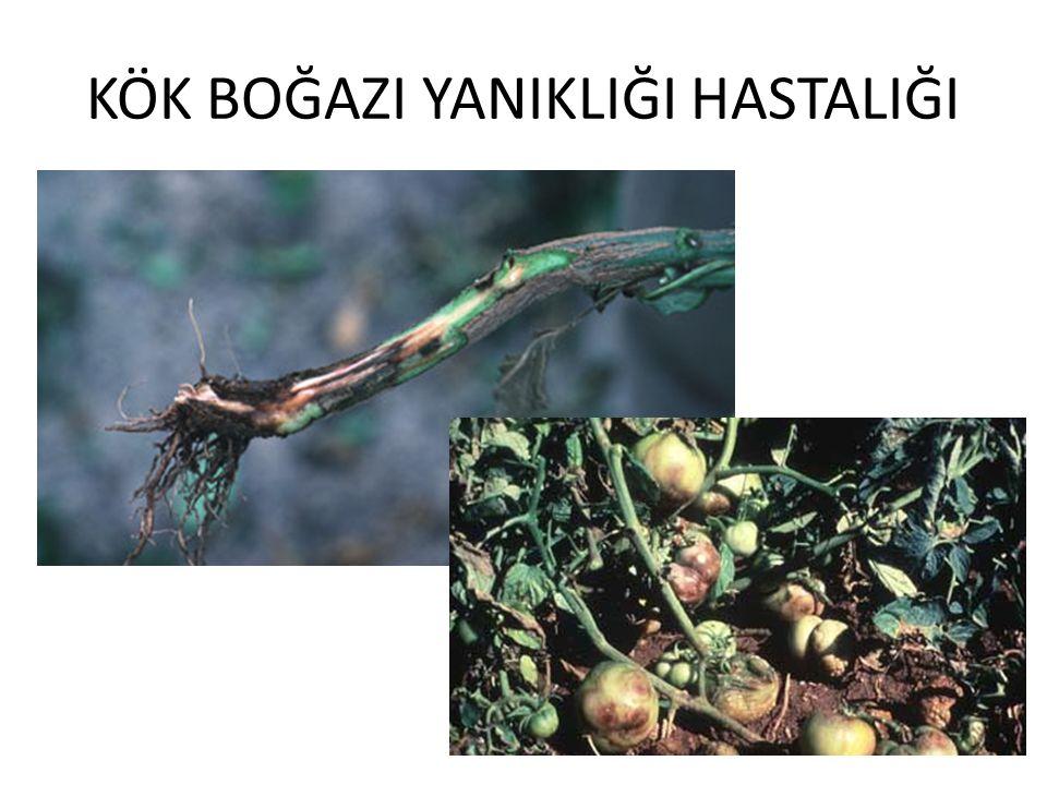 Bitkilerin kök boğazında önceleri koyu yeşil zamanla kahverengi siyaha dönüşen bir renk değişimi meydana gelir.