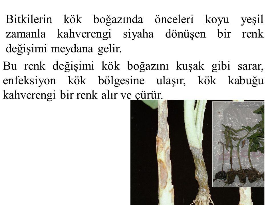 Bitkilerin kök boğazında önceleri koyu yeşil zamanla kahverengi siyaha dönüşen bir renk değişimi meydana gelir. Bu renk değişimi kök boğazını kuşak gi