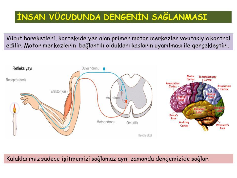Vücut hareketleri, korteksde yer alan primer motor merkezler vasıtasıyla kontrol edilir. Motor merkezlerin bağlantılı oldukları kasların uyarılması il