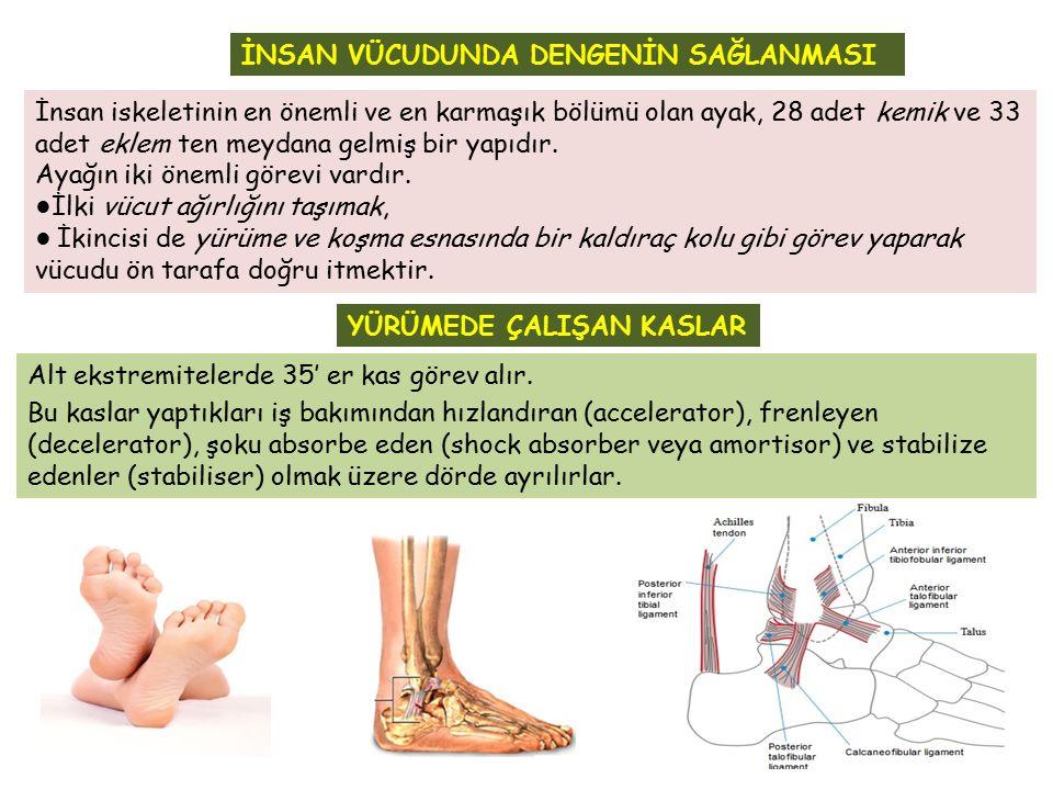 İnsan iskeletinin en önemli ve en karmaşık bölümü olan ayak, 28 adet kemik ve 33 adet eklem ten meydana gelmiş bir yapıdır. Ayağın iki önemli görevi v