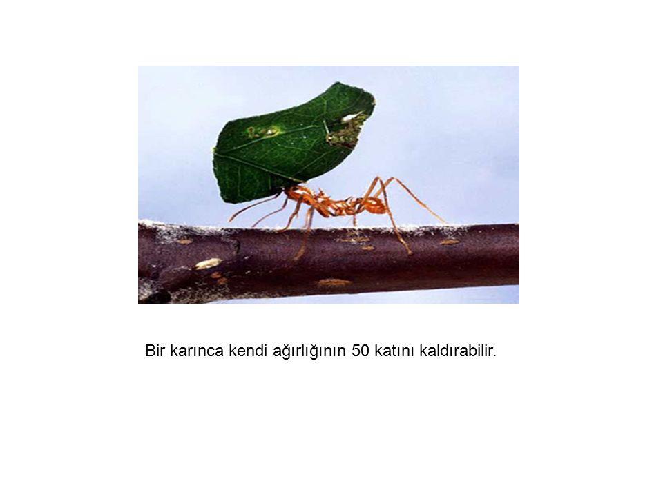 Bir karınca kendi ağırlığının 50 katını kaldırabilir.