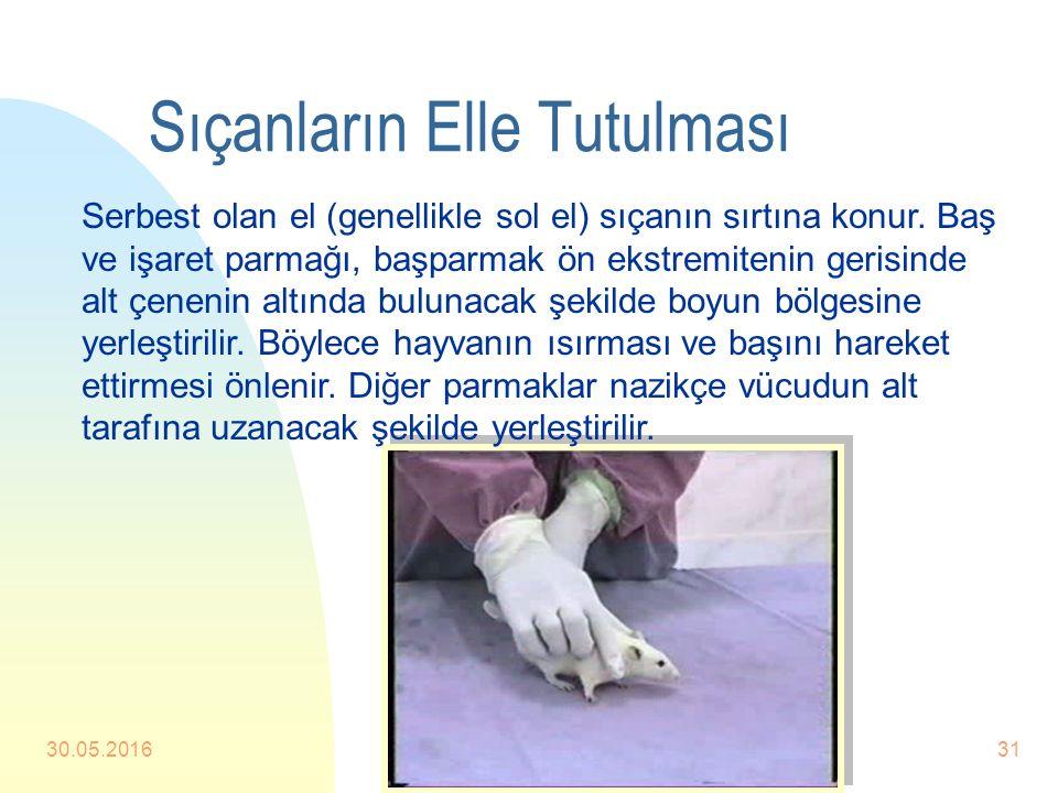 Sıçanların Elle Tutulması n Sıçanların tutulmasında başlıca iki yol kullanılır. n 1.Yol Sıçan kuyruğundan tutularak kafesin üzerine veya ayağıyla tutu