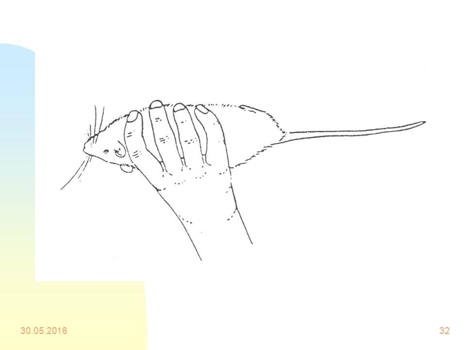 Sıçanların Elle Tutulması Serbest olan el (genellikle sol el) sıçanın sırtına konur. Baş ve işaret parmağı, başparmak ön ekstremitenin gerisinde alt ç