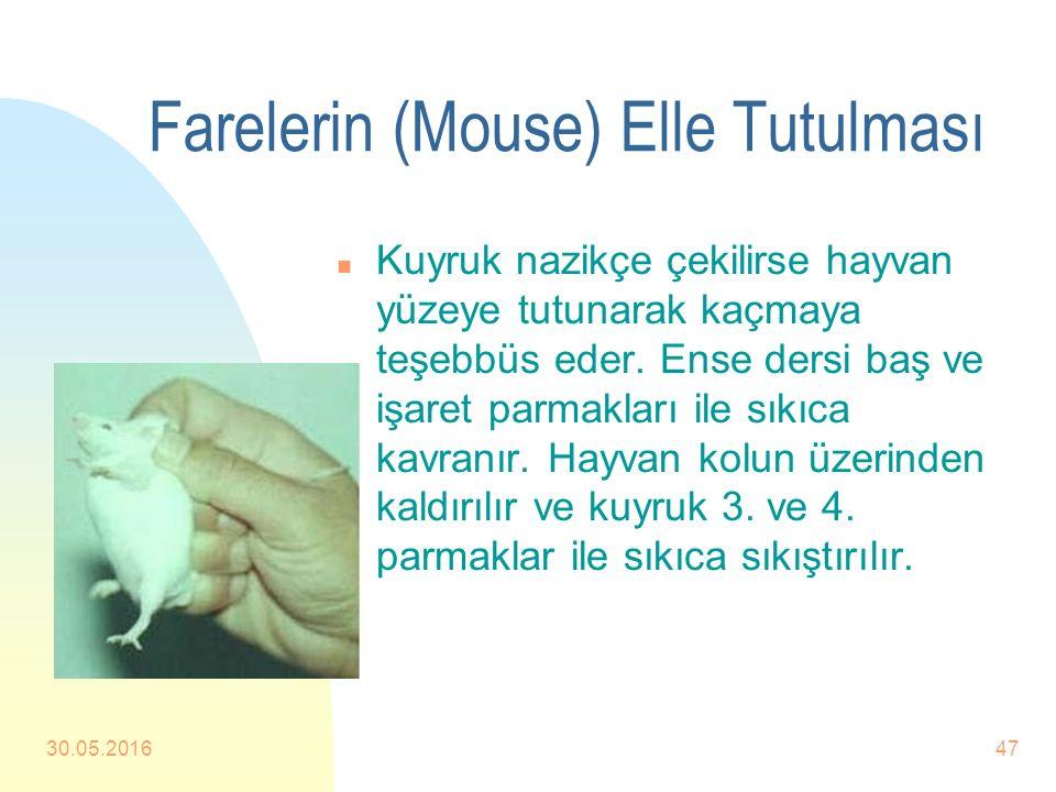 Farelerin (Mouse) Elle Tutulması n Birçok fare elle tutulduğunda ısırma teşebbüsünde bulunabilir. Bu nedenle yaklaşım çok dikkatli olmalıdır. n Hayvan