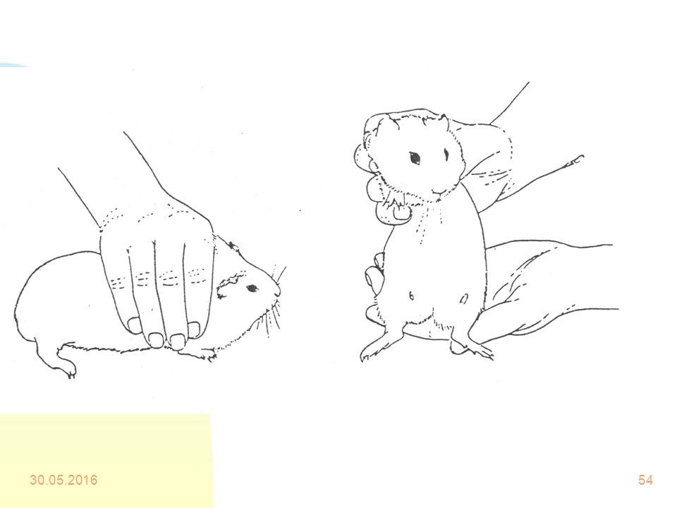 Kobayların Elle Tutulması n Bu durumda hayvana hızlı ve yumuşak yaklaşılmalıdır. Bir elle omuzlarının iki tarafından hafifçe yere bastırılır ve daha s