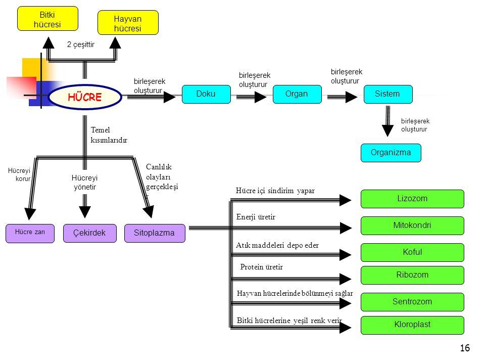 16 Bitki hücresi Hayvan hücresi Organizma SistemOrganDoku HÜCRE Temel kısımlarıdır ÇekirdekSitoplazma Hücre zarı birleşerek oluşturur birleşerek oluşturur birleşerek oluşturur birleşerek oluşturur 2 çeşittir Canlılık olayları gerçekleşi r Hücreyi korur Hücreyi yönetir Enerji üretir Protein üretir Hücre içi sindirim yapar Atık maddeleri depo eder Hayvan hücrelerinde bölünmeyi sağlar Bitki hücrelerine yeşil renk verir Mitokondri Ribozom Lizozom Koful Sentrozom Kloroplast