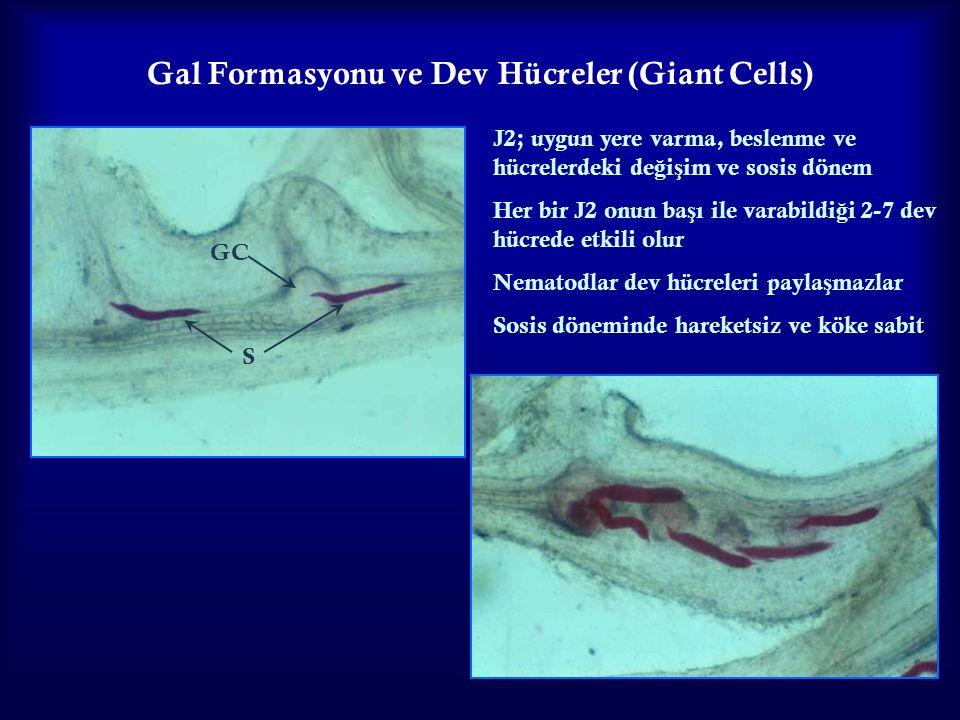 24 Gal Formasyonu ve Dev Hücreler (Giant Cells) J2; uygun yere varma, beslenme ve hücrelerdeki de ğ i ş im ve sosis dönem Her bir J2 onun ba ş ı ile v