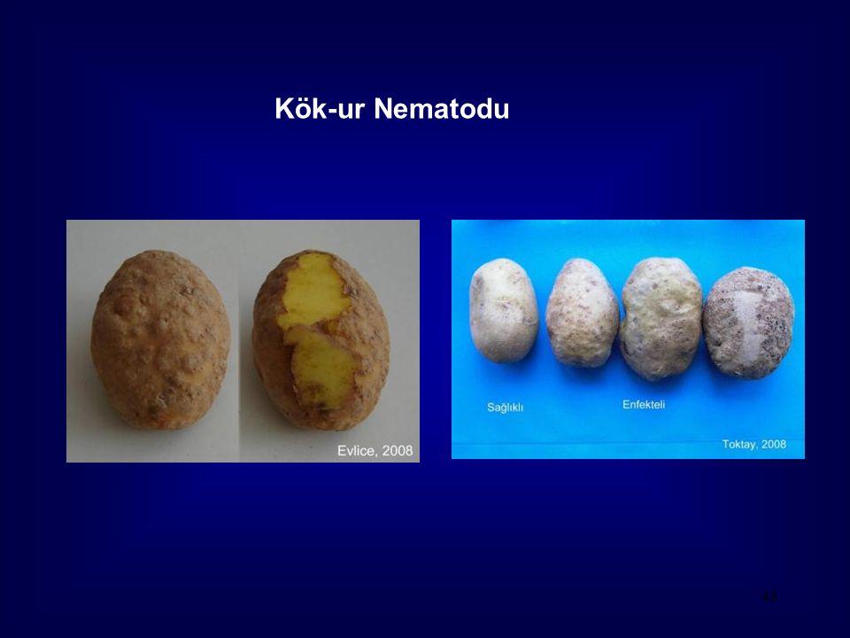 48 Kök-ur Nematodu