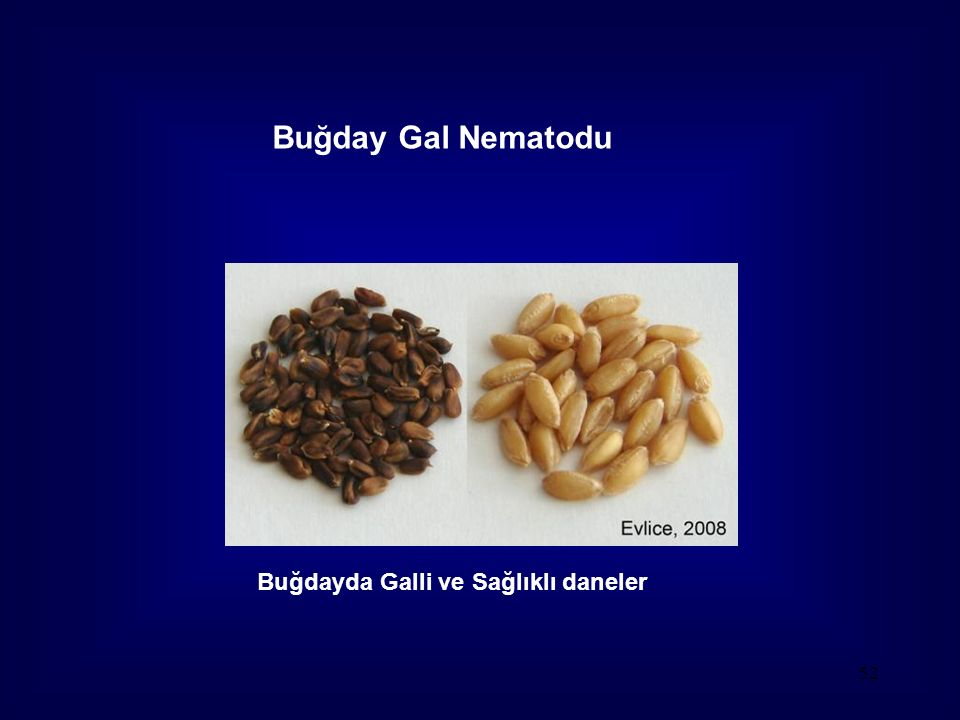 52 Buğday Gal Nematodu Buğdayda Galli ve Sağlıklı daneler