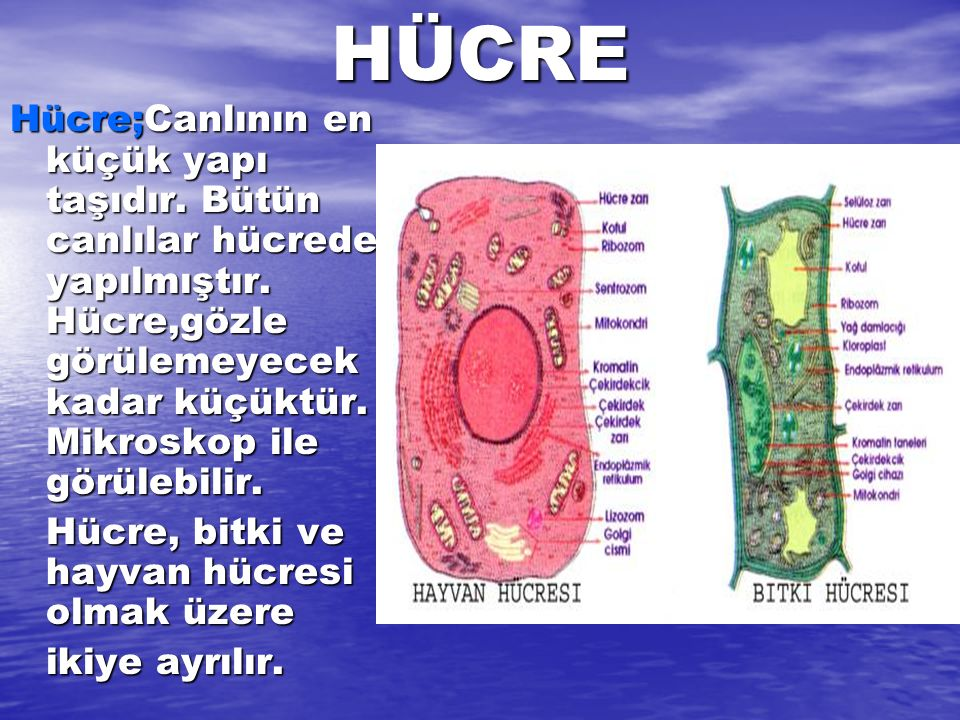 HÜCRE Hücre;Canlının en küçük yapı taşıdır. Bütün canlılar hücreden yapılmıştır. Hücre,gözle görülemeyecek kadar küçüktür. Mikroskop ile görülebilir.
