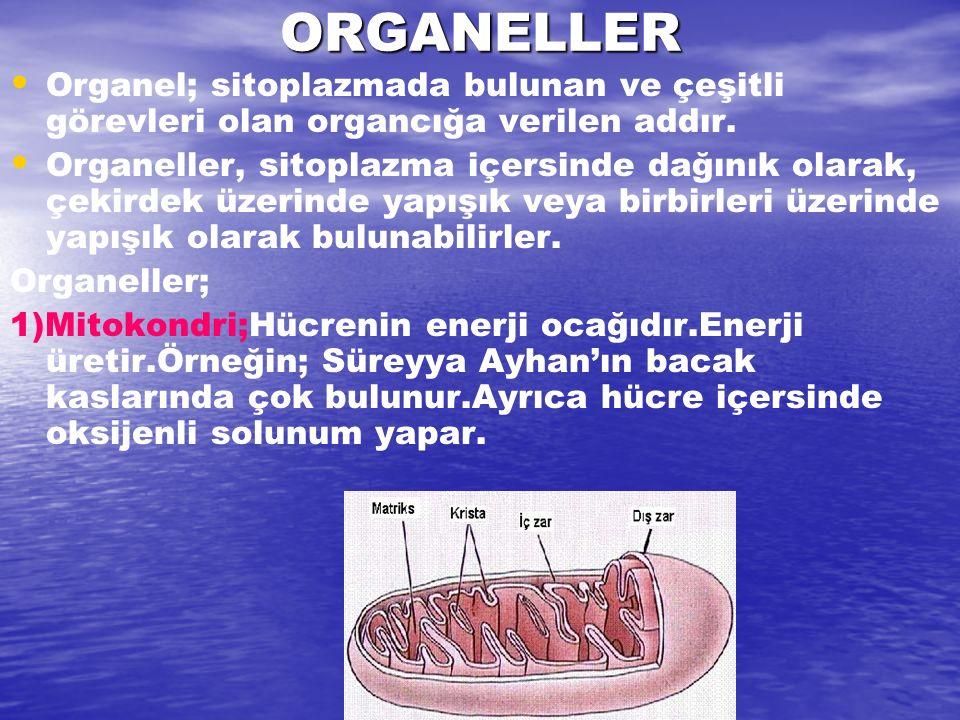 ORGANELLER Organel; sitoplazmada bulunan ve çeşitli görevleri olan organcığa verilen addır. Organeller, sitoplazma içersinde dağınık olarak, çekirdek