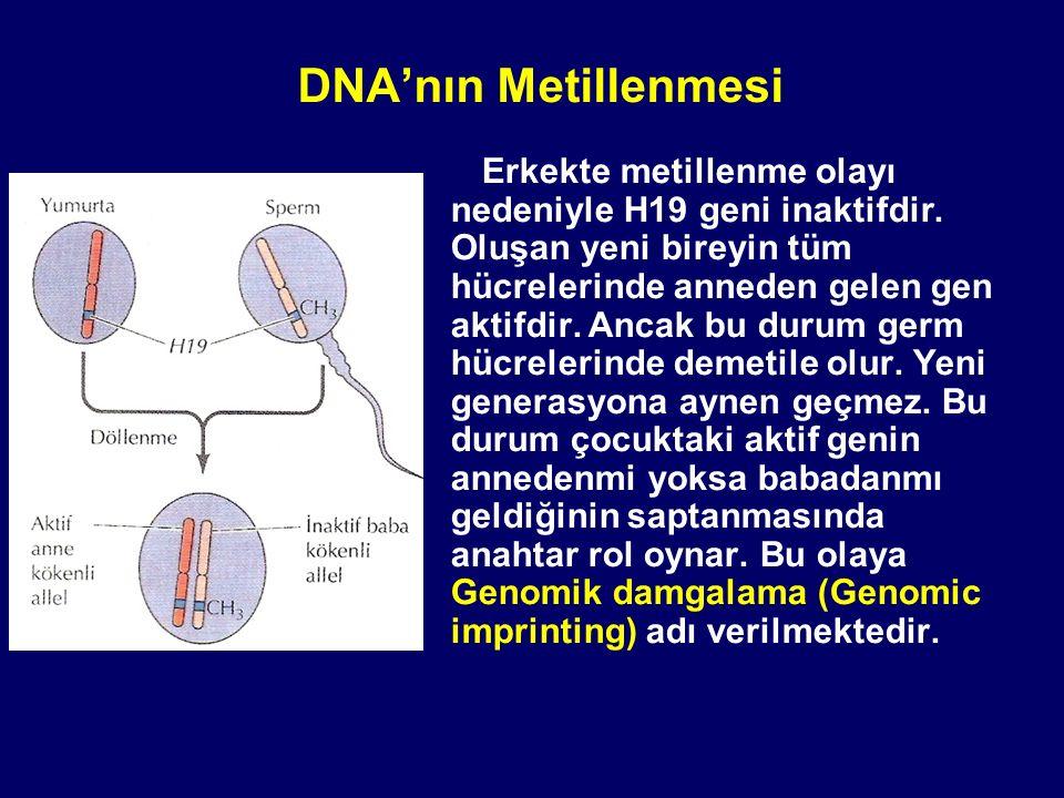 Erkekte metillenme olayı nedeniyle H19 geni inaktifdir. Oluşan yeni bireyin tüm hücrelerinde anneden gelen gen aktifdir. Ancak bu durum germ hücreleri