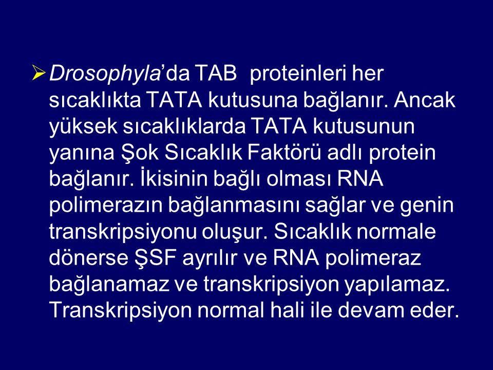  Drosophyla'da TAB proteinleri her sıcaklıkta TATA kutusuna bağlanır. Ancak yüksek sıcaklıklarda TATA kutusunun yanına Şok Sıcaklık Faktörü adlı prot