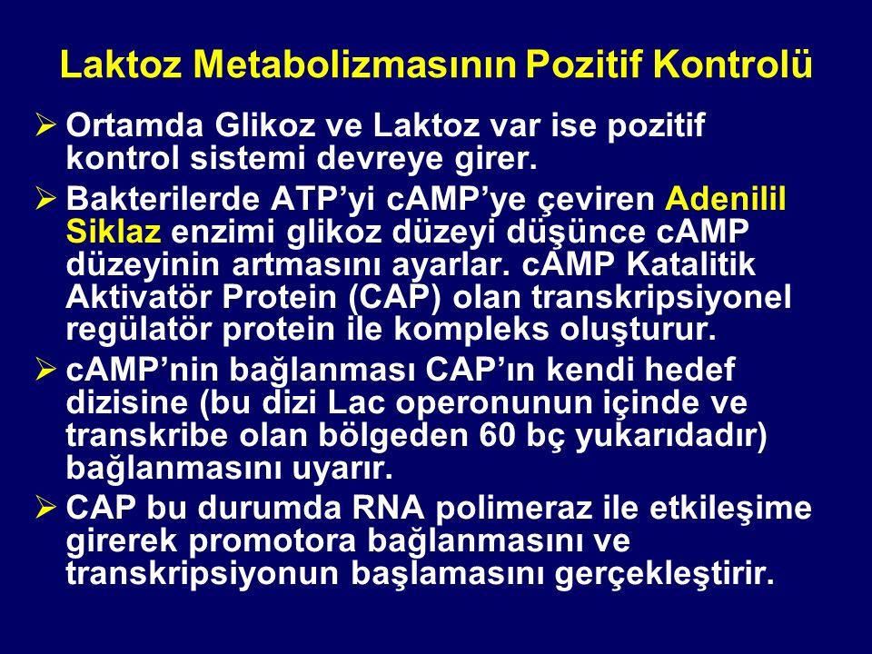 Laktoz Metabolizmasının Pozitif Kontrolü  Ortamda Glikoz ve Laktoz var ise pozitif kontrol sistemi devreye girer.  Bakterilerde ATP'yi cAMP'ye çevir