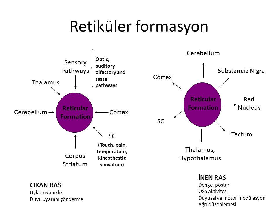 Retiküler formasyon Reticular Formation Cerebellum Red Nucleus Thalamus, Hypothalamus SC Cortex Substancia Nigra Tectum Reticular Formation Cortex Tha