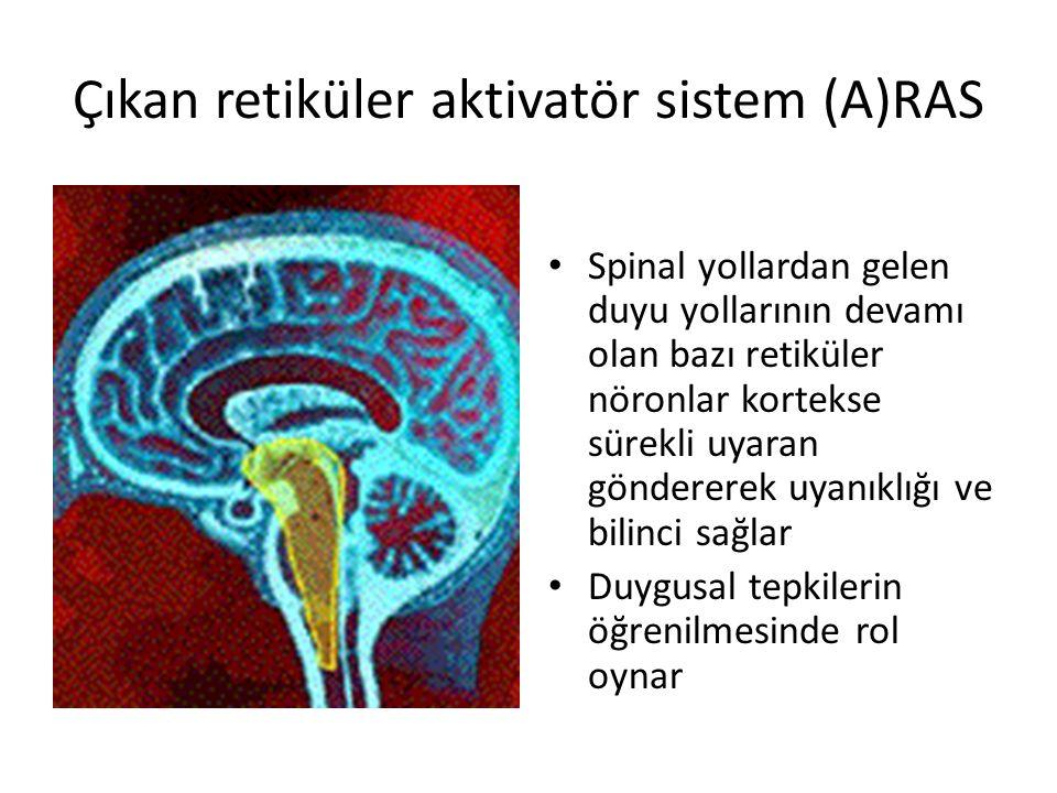 Çıkan retiküler aktivatör sistem (A)RAS Spinal yollardan gelen duyu yollarının devamı olan bazı retiküler nöronlar kortekse sürekli uyaran göndererek