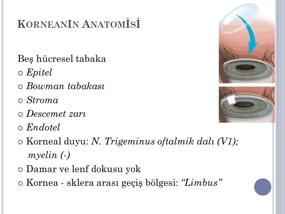 K ORNEAN I N A NATOM İ S İ Beş hücresel tabaka Epitel Bowman tabakası Stroma Descemet zarı Endotel Korneal duyu: N. Trigeminus oftalmik dalı (V1); mye