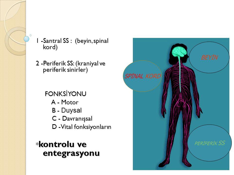 1 -Santral SS : (beyin, spinal kord) 2 -Periferik SS: (kraniyal ve periferik sinirler) FONKS İ YONU FONKS İ YONU A - Motor A - Motor B - Duysal B - Du