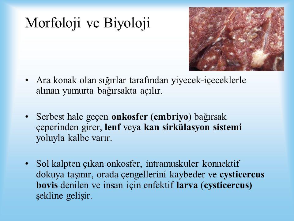 Morfoloji ve Biyoloji Ara konak olan sığırlar tarafından yiyecek-içeceklerle alınan yumurta bağırsakta açılır. Serbest hale geçen onkosfer (embriyo) b