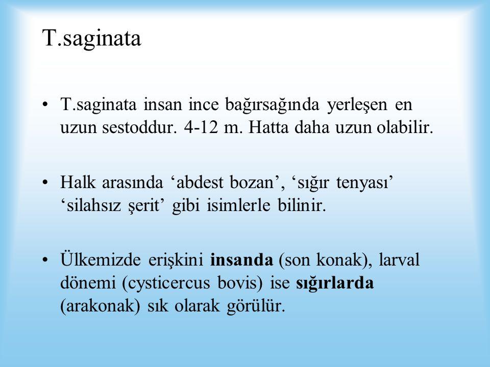 T.saginata T.saginata insan ince bağırsağında yerleşen en uzun sestoddur. 4-12 m. Hatta daha uzun olabilir. Halk arasında 'abdest bozan', 'sığır tenya