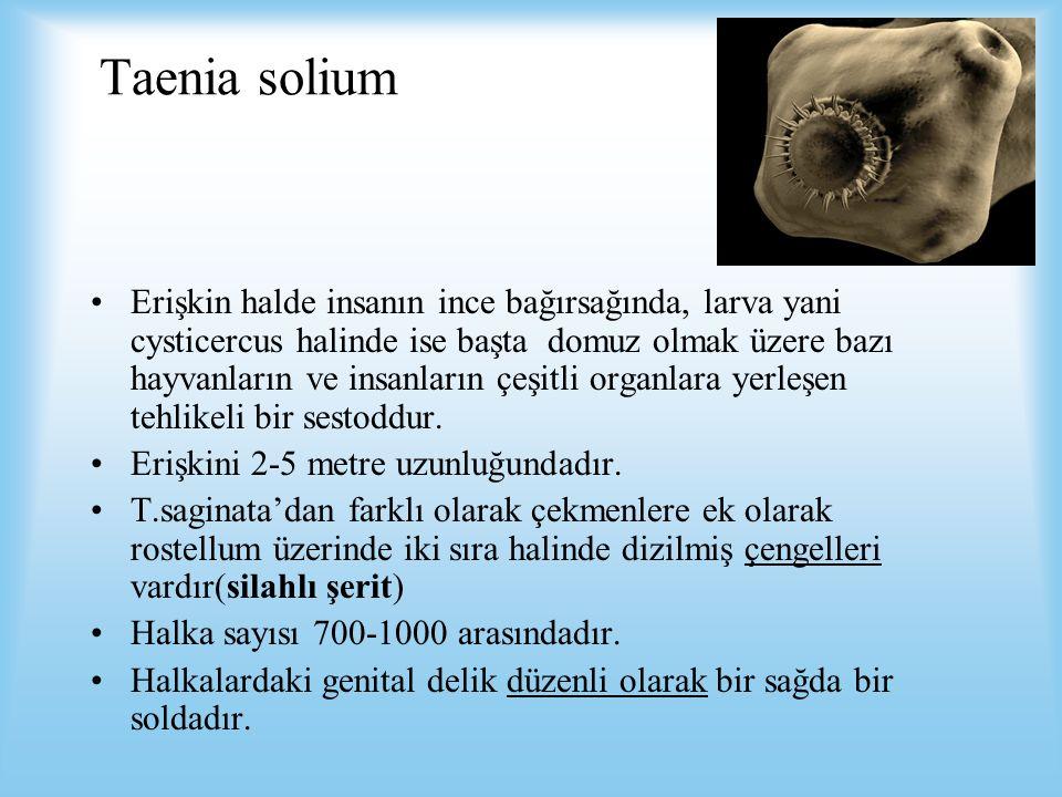 Erişkin halde insanın ince bağırsağında, larva yani cysticercus halinde ise başta domuz olmak üzere bazı hayvanların ve insanların çeşitli organlara y