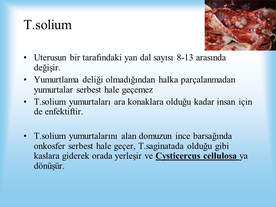 T.solium Uterusun bir tarafındaki yan dal sayısı 8-13 arasında değişir. Yumurtlama deliği olmadığından halka parçalanmadan yumurtalar serbest hale geç
