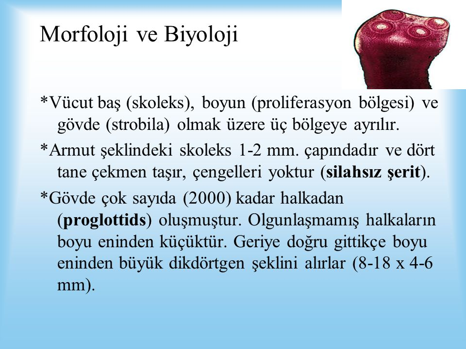 Morfoloji ve Biyoloji *Vücut baş (skoleks), boyun (proliferasyon bölgesi) ve gövde (strobila) olmak üzere üç bölgeye ayrılır. *Armut şeklindeki skolek