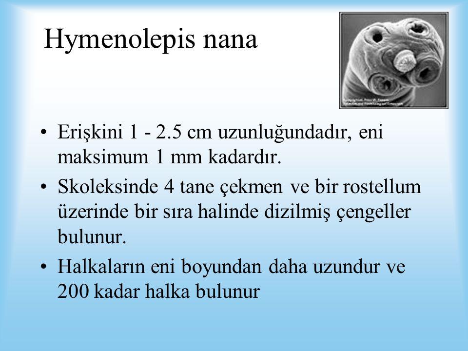Hymenolepis nana Erişkini 1 - 2.5 cm uzunluğundadır, eni maksimum 1 mm kadardır. Skoleksinde 4 tane çekmen ve bir rostellum üzerinde bir sıra halinde