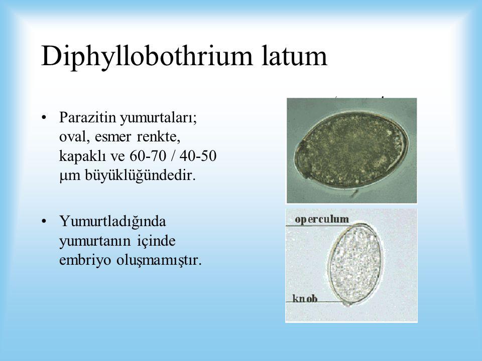 Diphyllobothrium latum Parazitin yumurtaları; oval, esmer renkte, kapaklı ve 60-70 / 40-50  m büyüklüğündedir. Yumurtladığında yumurtanın içinde embr