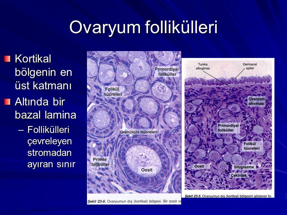 Ovaryum follikülleri Kortikal bölgenin en üst katmanı Altında bir bazal lamina –Follikülleri çevreleyen stromadan ayıran sınır