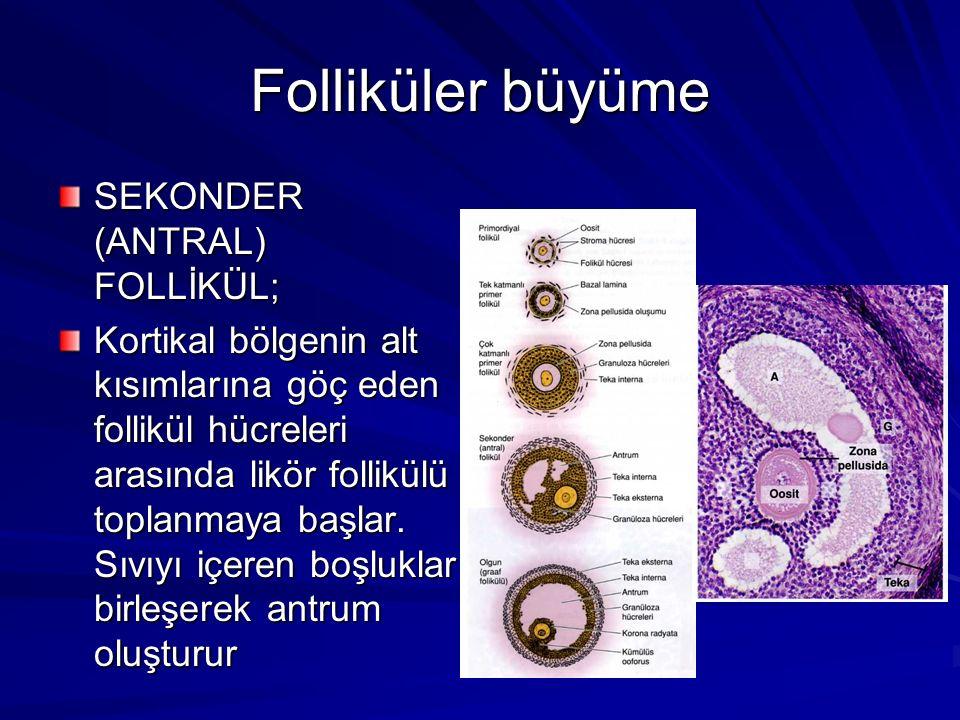 Folliküler büyüme SEKONDER (ANTRAL) FOLLİKÜL; Kortikal bölgenin alt kısımlarına göç eden follikül hücreleri arasında likör follikülü toplanmaya başlar.