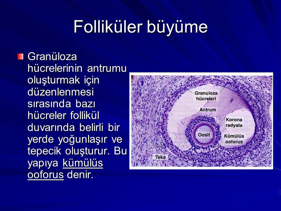 Folliküler büyüme Granüloza hücrelerinin antrumu oluşturmak için düzenlenmesi sırasında bazı hücreler follikül duvarında belirli bir yerde yoğunlaşır ve tepecik oluşturur.