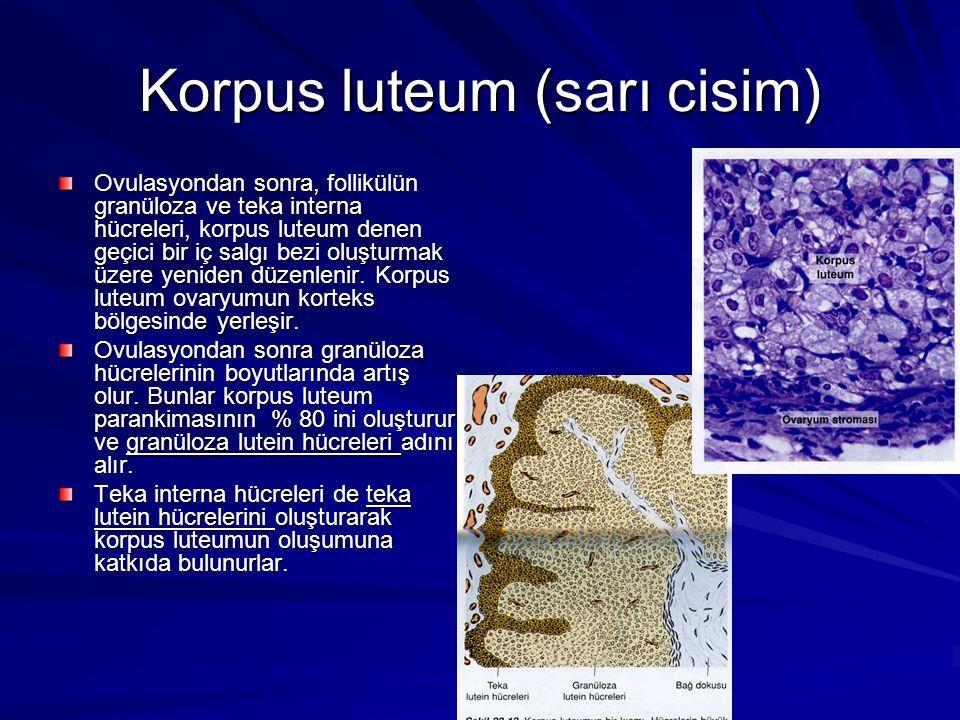 Korpus luteum (sarı cisim) Ovulasyondan sonra, follikülün granüloza ve teka interna hücreleri, korpus luteum denen geçici bir iç salgı bezi oluşturmak üzere yeniden düzenlenir.