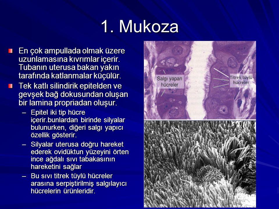 1. Mukoza En çok ampullada olmak üzere uzunlamasına kıvrımlar içerir.