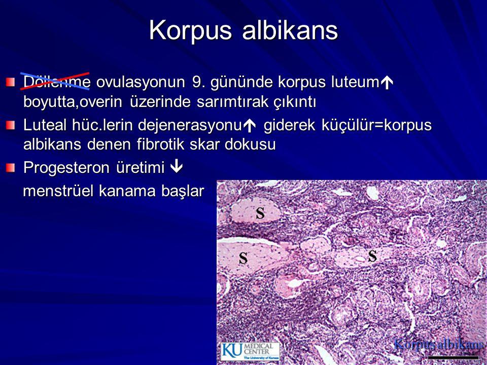 Korpus albikans Döllenme ovulasyonun 9.