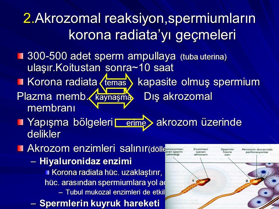 2.Akrozomal reaksiyon,spermiumların korona radiata'yı geçmeleri 300-500 adet sperm ampullaya (tuba uterina) ulaşır.Koitustan sonra~10 saat Korona radiata temas kapasite olmuş spermium Plazma memb.
