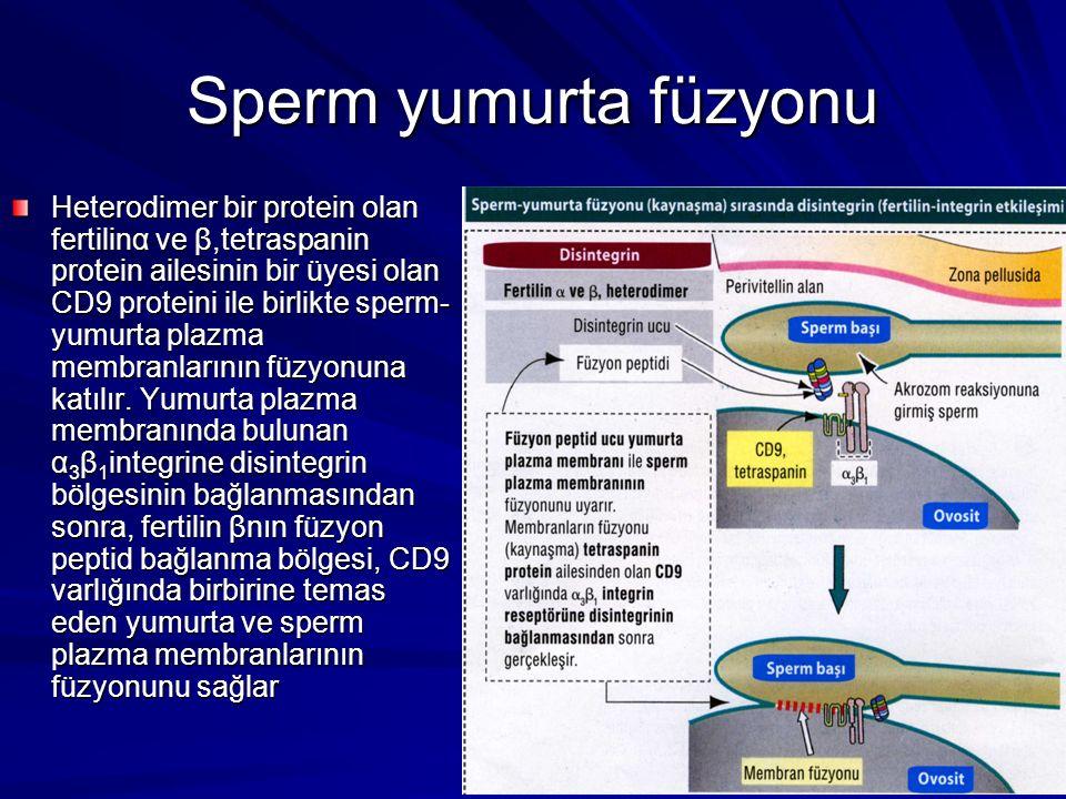Sperm yumurta füzyonu Heterodimer bir protein olan fertilinα ve β,tetraspanin protein ailesinin bir üyesi olan CD9 proteini ile birlikte sperm- yumurta plazma membranlarının füzyonuna katılır.