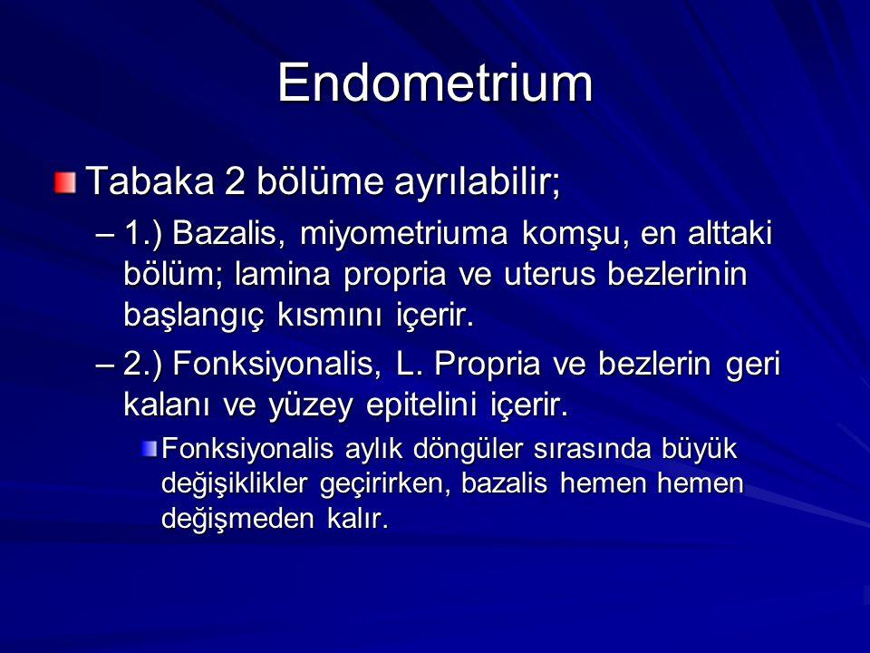 Endometrium Tabaka 2 bölüme ayrılabilir; –1.) Bazalis, miyometriuma komşu, en alttaki bölüm; lamina propria ve uterus bezlerinin başlangıç kısmını içerir.